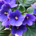 2007-04-20saintpaulia_ionantha02
