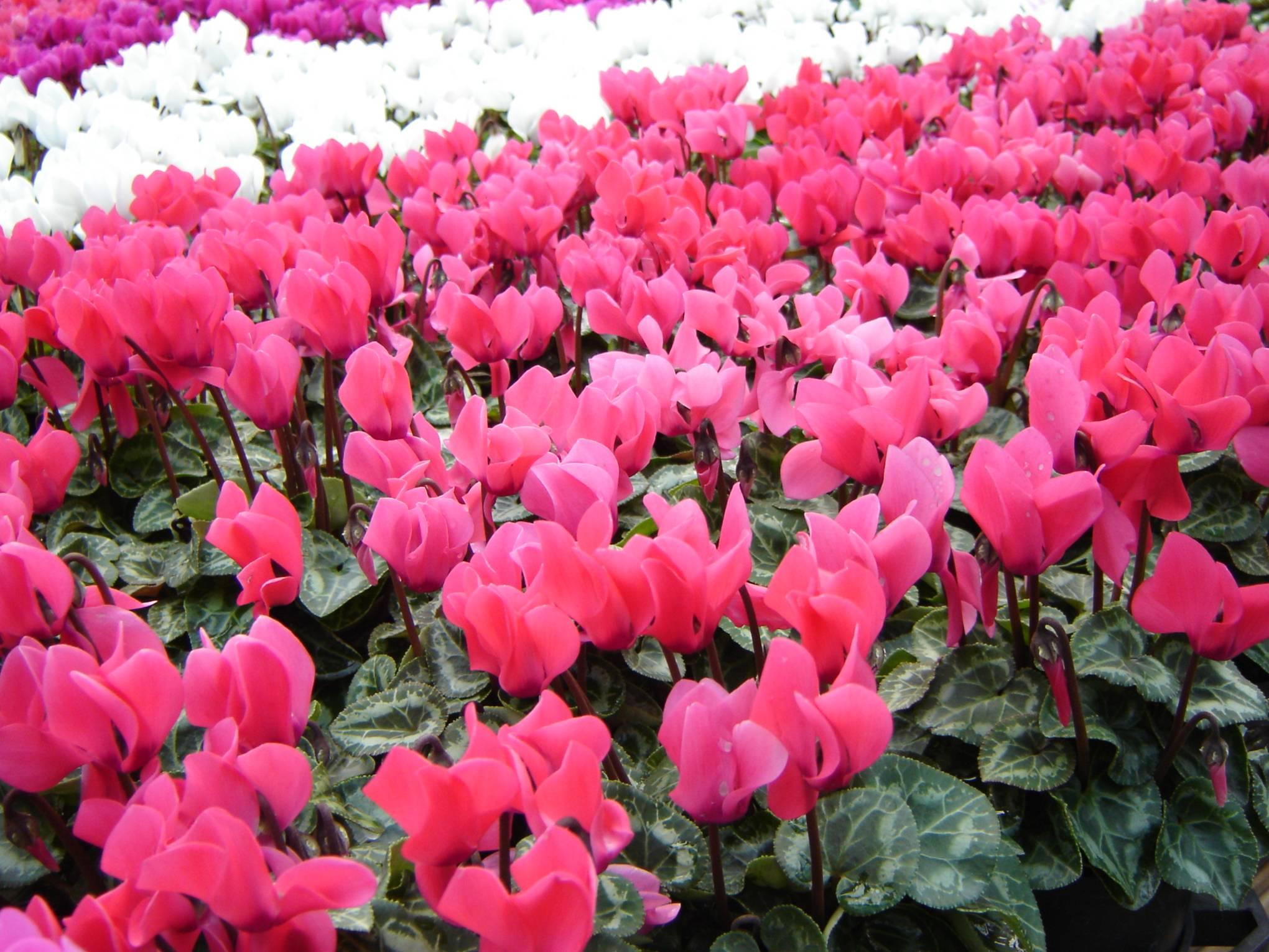 Ciclamino brogioni le mosse ortofloricoltura for Giardinaggio e fiori
