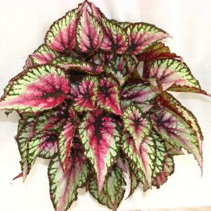 Annual_Begonia-Rex-Salsa