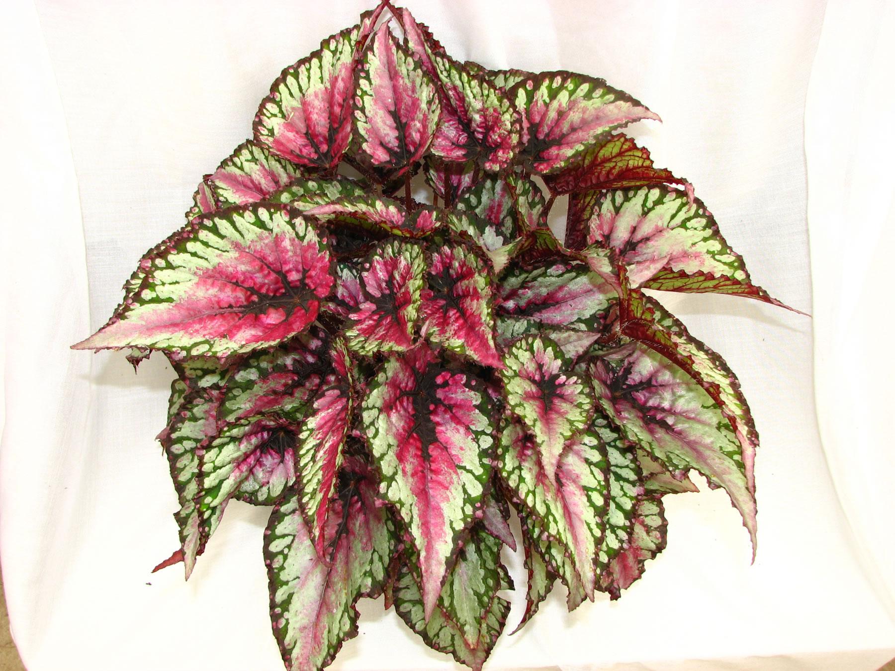 Begonia rex brogioni le mosse ortofloricoltura for Begonia pianta