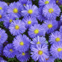 Aster novi,belgii Lady in Blue