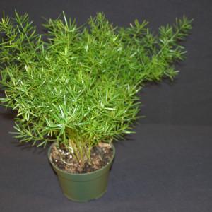 Springerii-Asparagus-densiflorus