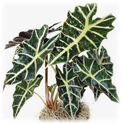 alocasia_polly