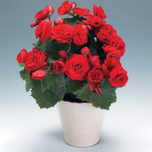 begonia-barkos
