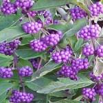 fiori-di-callicarpa