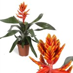 bilbergia-elegant-flame