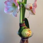 bulbo-amaryllis