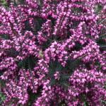 erica-darleyensis