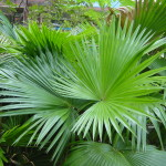 livistonia-rotundifolia