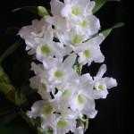 orchidea-dembrobium