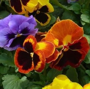 panse-fiore-grande