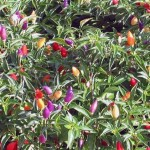peperone-ornamentale