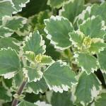plectranthus-coleoides